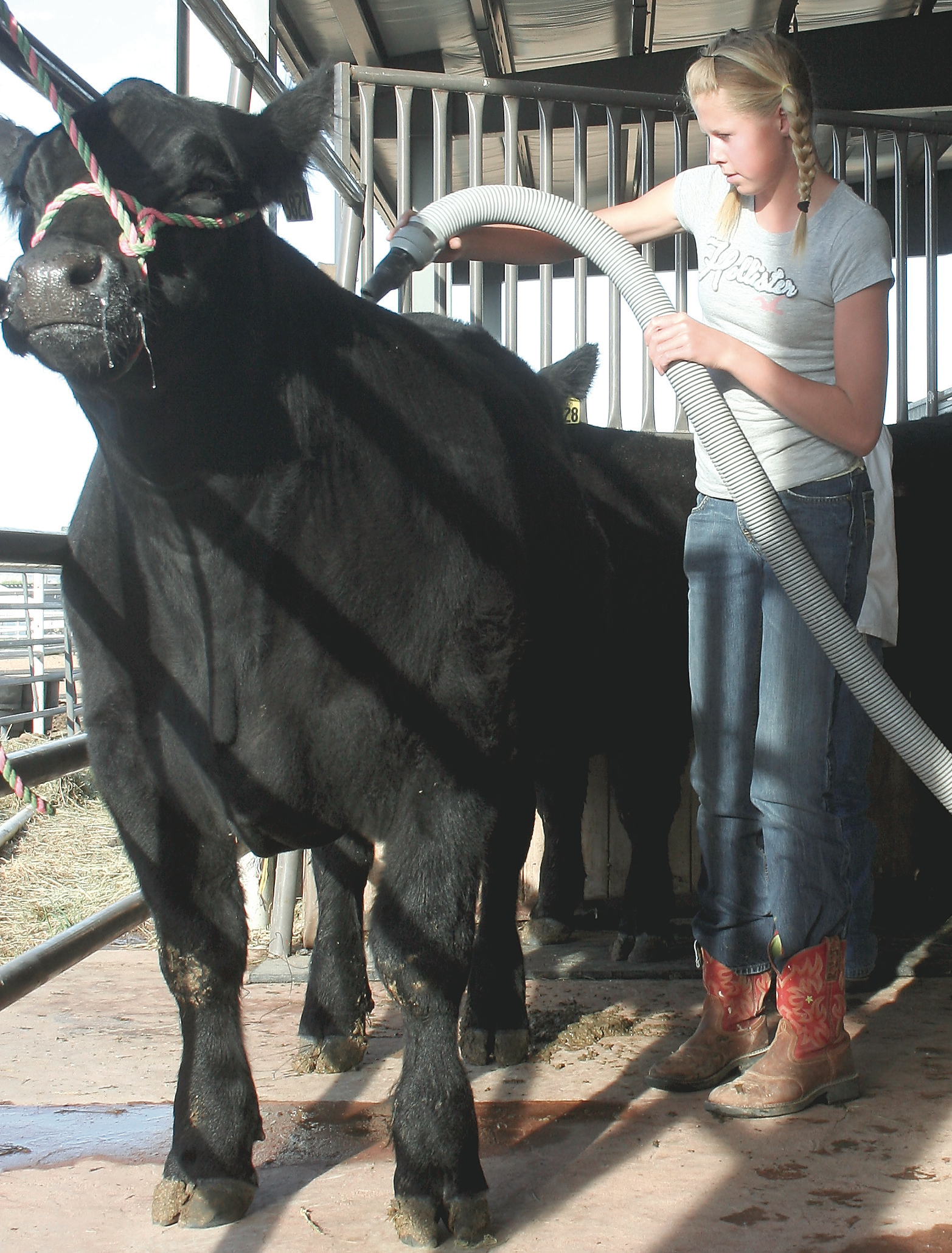 Jadon Woods blows air through the coat of her steer, Buddy, that she's showing at the Junior Livestock Show this week.