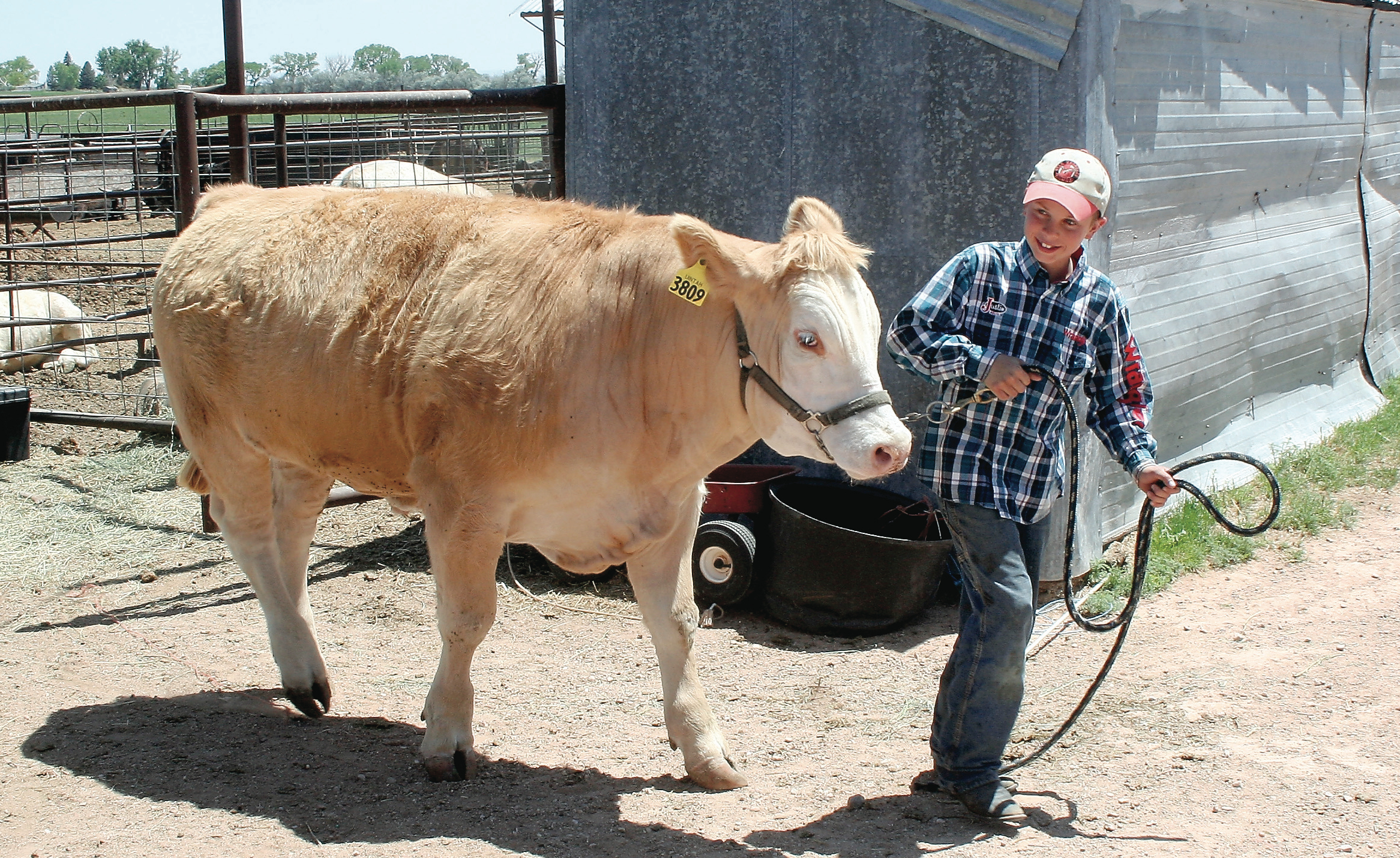 Josh Frost leads his 1,100-pound steer, Goober, from its corral. Josh, age 12, has been showing animals at livestock shows since he was in third grade.